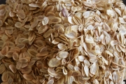 CSIR-IHBT, Palampur introduces asafoetida (Ferula assa-foetida; Heeng) for cultivation in India