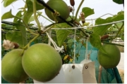 CSIR-IHBT introduced low calorie natural sweetener plant: Monk fruit